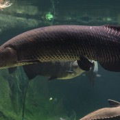 arapaima in water