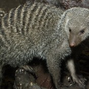 Gray-furred, long-nosed critter with numerous thin dark bands across its back