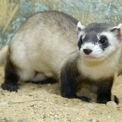 Black Footed Ferret sandy background