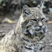 Bobcat sitting on the ground