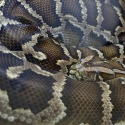 Huge snake coiled with head at center. Body is patterned with blotches of brown and separated by bands of white