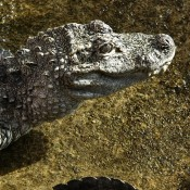 Upper body and head of a grayish alligator