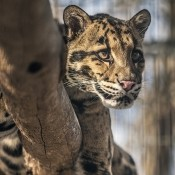 Clouded leopard in a tree