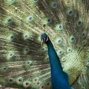common peafowl