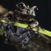 Gold and black frog with an unusual horn on its head between the eyes. The tip of each toe is widened like a suction cup.