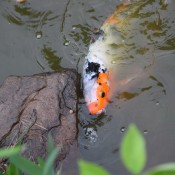 A Japanese koi fish swimming in a pond