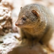 A dwarf mongoose standing on a rock