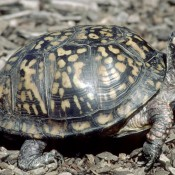 An eastern box turtle standing in mulch