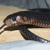 Head of long, shiny, black snack with a black eye and forked tongue outretched. The lower neck and face are a paler brown color