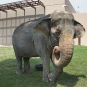 An elepthant curls its trunk and lifts its foot