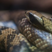 A snake with light brown, black and gray stripes, called a false water cobra, coiled up with its head resting on its body