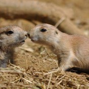 Two baby prairie dogs touching noses
