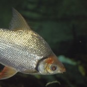 Silver fish with orange tint to fins
