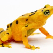 Bright yellow frog with black spots on its back