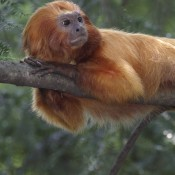 Small, orange monkey with an adorable face resting on a branch