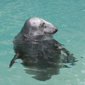 Gray seal floating with its head above the water