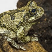 Pale green frog sitting. It has darker olive patterning on its back and legs