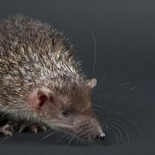 small animal with black and tan bristly fur and a short pointed snout