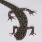 Skinny salamander with marbled coloration of pale green and black