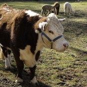 Brown cow with white head and chest standing in a muddy field