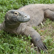 Lizard resting on the grass with its legs outstretched