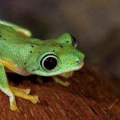 Brilliant lime green frog with yellow accents on its flanks and toes. Its eyes are huge and black with a narrow pale white iris