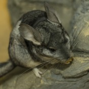Luxuriant soft gray fur on a small mammal