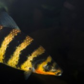 Striking alternate bands of black and pale orange adorn this fish