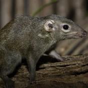 A bushy tail and a long snout on a grayish-black furry animal