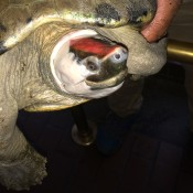 terrapin with red forehead held by keeper