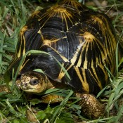 Black and yellow turtle in the grass. A yellow spot in the center of each scute has yellow rays extending from it