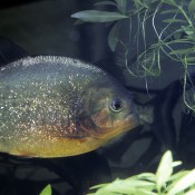 Silver fish with orange-red blush to its belly swimming underwater