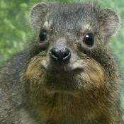 Fat-mouthed, wet nosed, brown and gray squirrel-like critter
