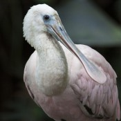large pale pink bird with a white head and neck and a long spatulate bill