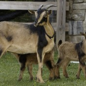 Two pale brown goats with short curved horns, and scattered black markings