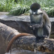 Grayish-brown monkey sitting with its long reddish-brown tail draped over a rock