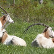 scimitar-horned oryx laying in grass