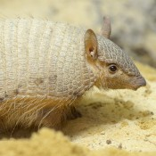 small armadillo with a pale tan coloration