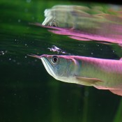 Long silver fish near the water's surface