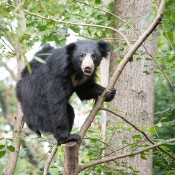 A sloth bear with shaggy black fur climbing in a tree