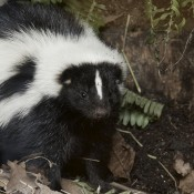 Black animal with broad white stripe across its body