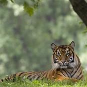 Sumatran tiger lays in grass