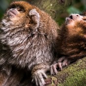 Two Titi Monkeys sitting in a tree looking upwards