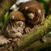two diminutive monkeys with white ears, dense copper and gray-colored fur on body and reddish-brown fur on its head.