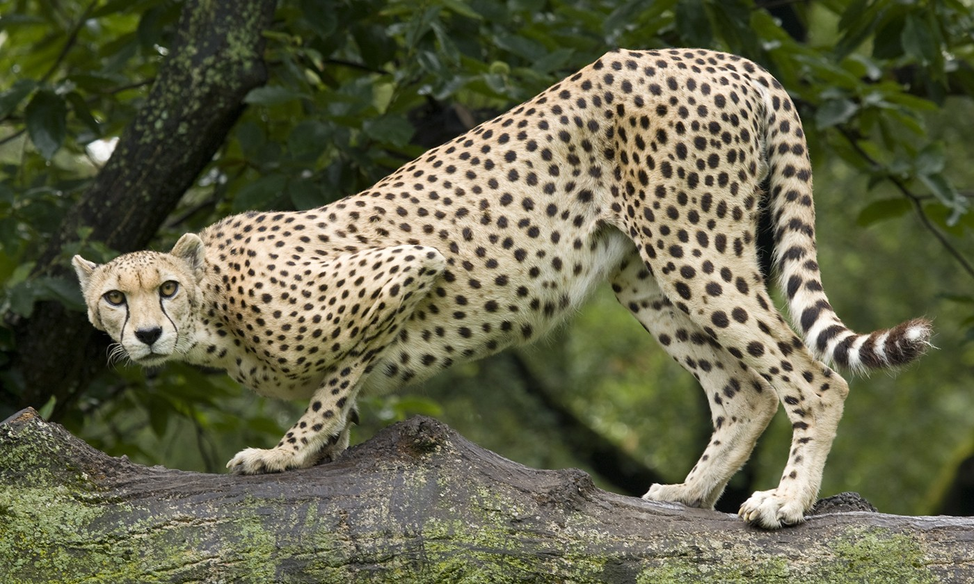 an introduction to cheetahs the fastest of felines