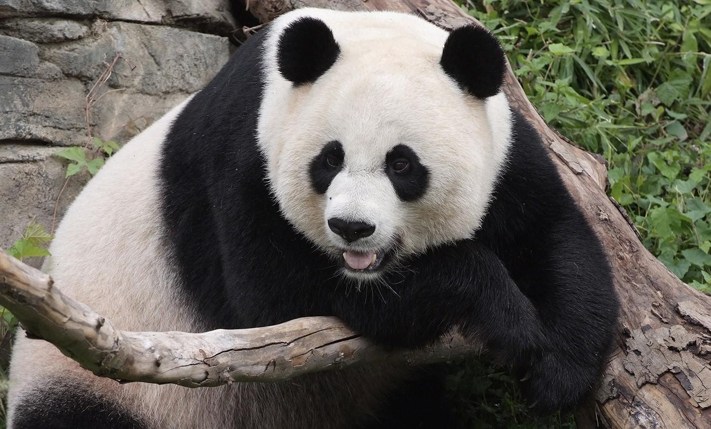panda hanging over a log