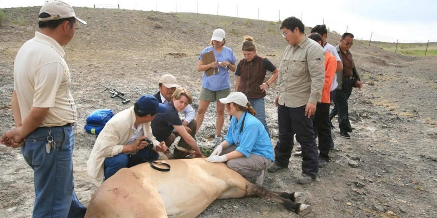 Przewalski's Horse research