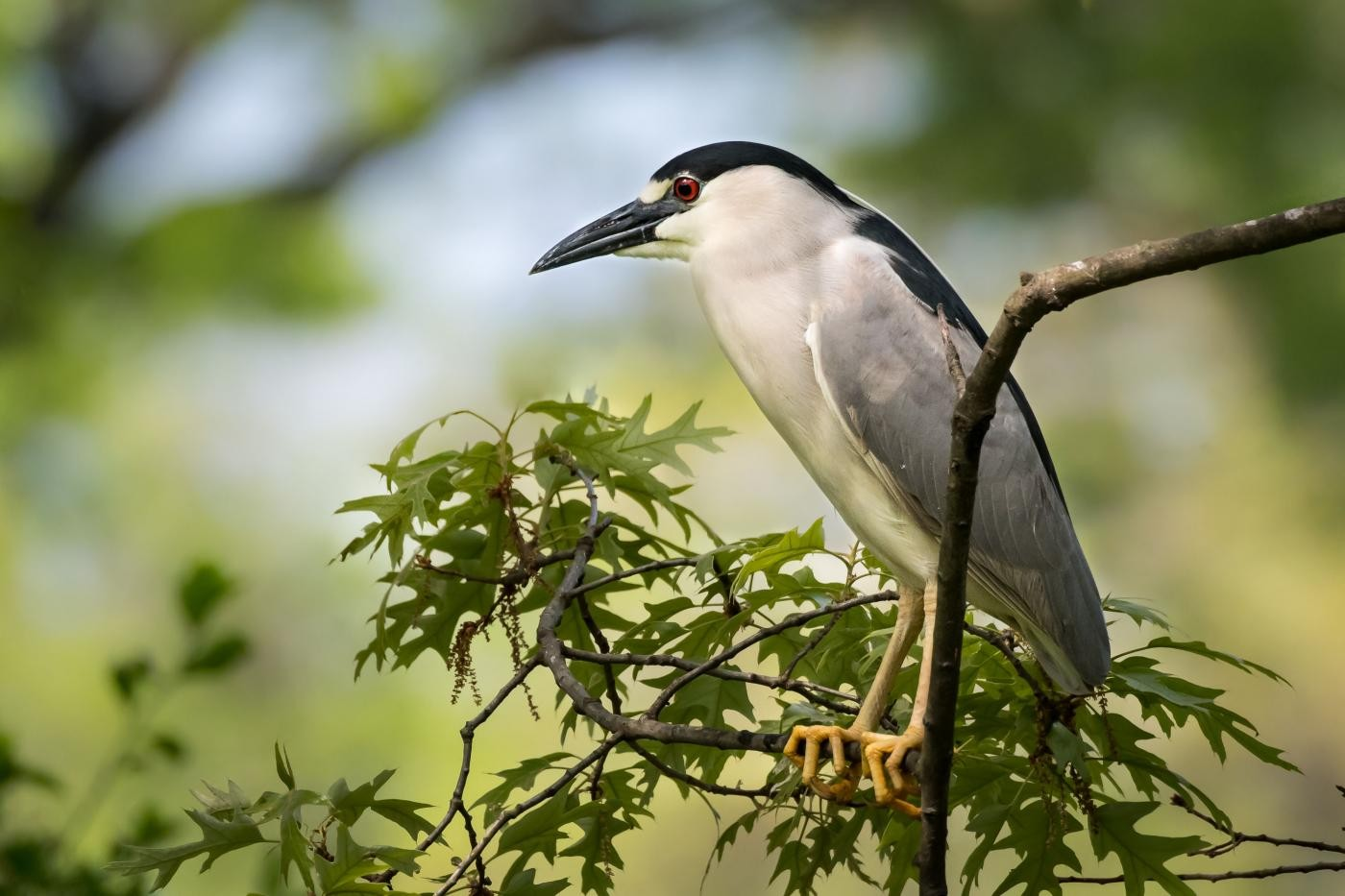a black-crowned night heron perched on a branch with green leaves