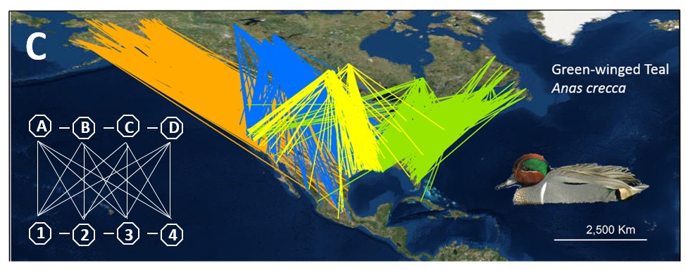 A map showing bird migration routes