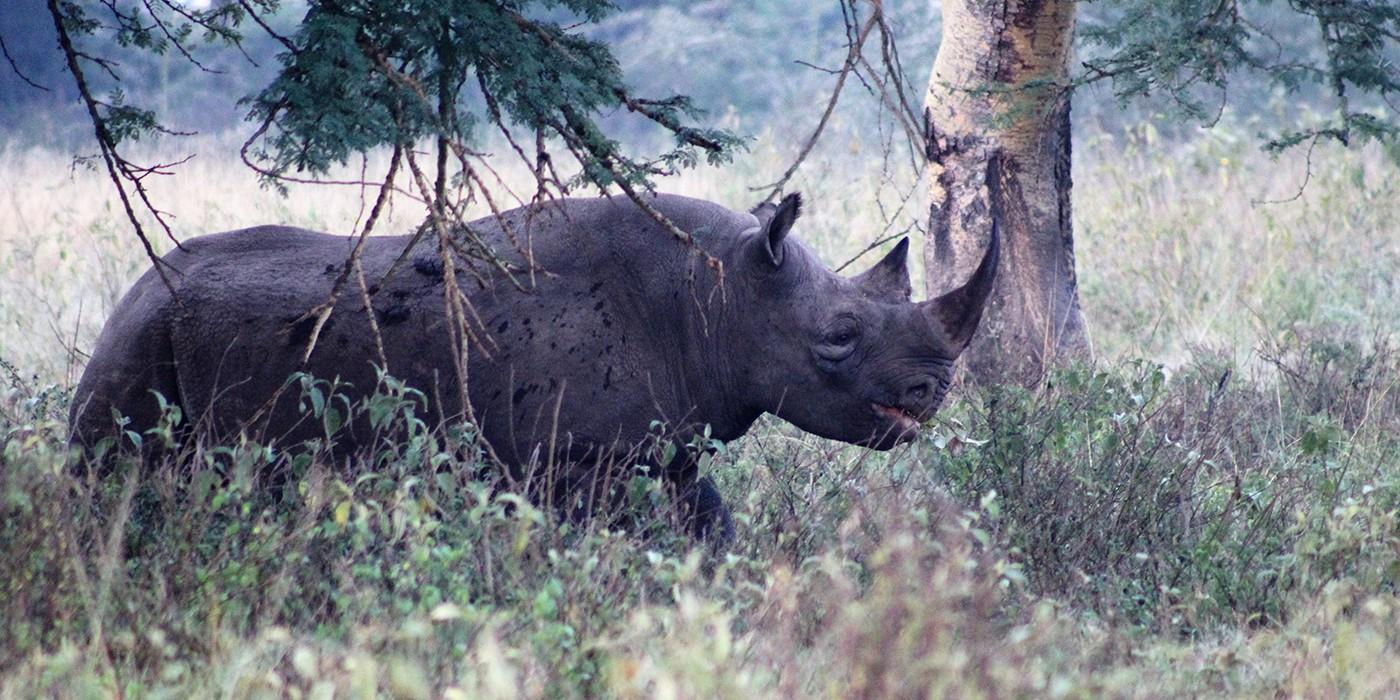 black rhino in brush